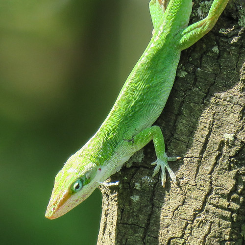 us usa america unitedstates southtexas day11 southpadreisland southofbirdingandnaturecentre nearwsheepsheadstlagunablvd nature wildlife reptile greenanole anoliscarolinensis green smalltomediumsizedlizard arboreal canchangecolourfrombrowntogreen facingdownwards tree bark bokeh outdoor 29march2019 canon sx60 canonsx60 powershot annkelliott anneelliott ©anneelliott2019 ©allrightsreserved