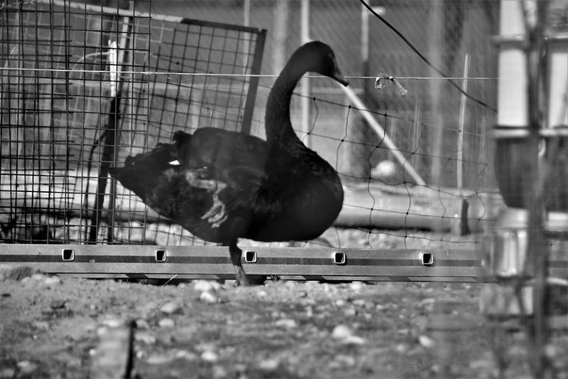 Black Swan 23.03 (1)