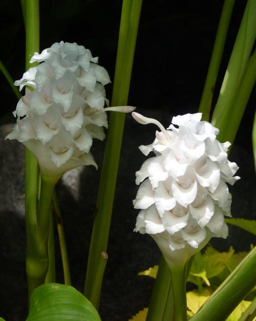 Calathea burle-marxii 49677221021_44a725c729_o