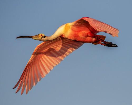 light pink outdoor dennis adair sky nature wildlife 7dm2 7d ii ef100400mm canon florida bird bif flight sunset