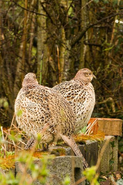 pair of hen pheasants