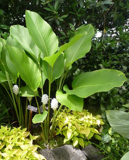 Calathea burle-marxii 49677503887_d3ba9124fb_o