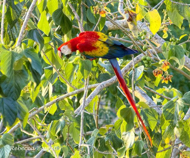 Scarlet Macaw eating berries