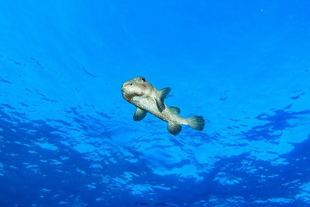 Riesen-Kugelfisch Egypt Safaga