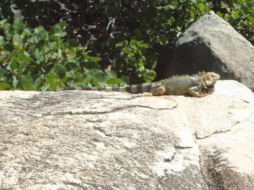aruba cruising cruise carnivalcruiseline caribbeancruising caribbeansea caribbeanisland dutchcaribbean ayorockformations lizard reptile iguana