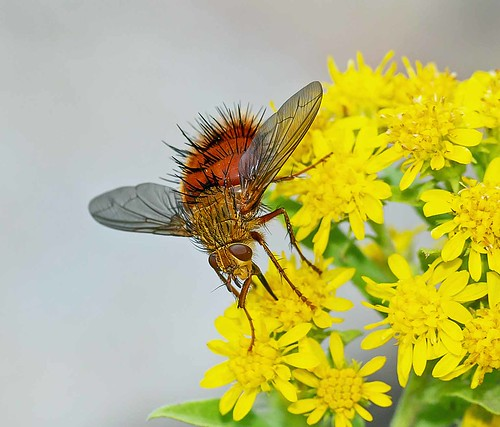 Tachinid Fly - (Adejeania vexatrix)