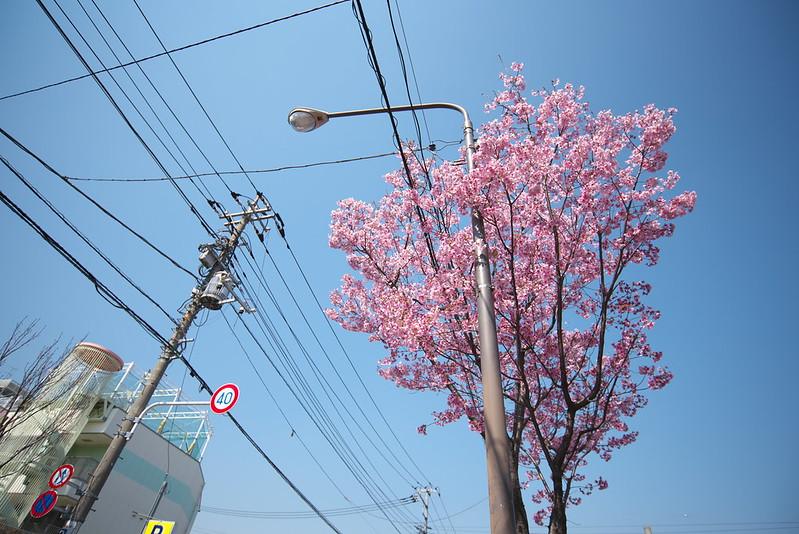 荒川七丁目停留所近くの桜