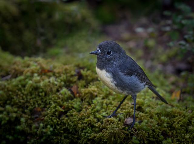 South Island robin- Petroica australis australis