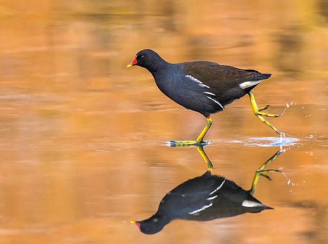 The Skating Moorhen