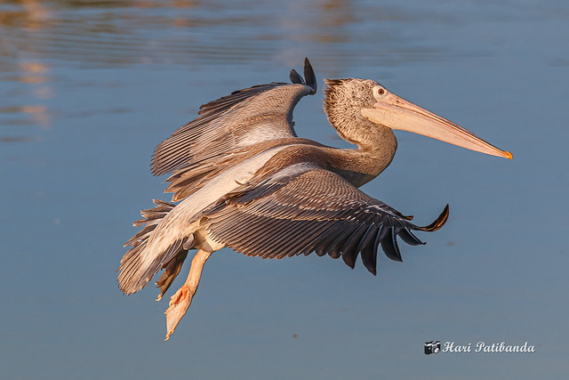 A Pelican approaching the water for a landing