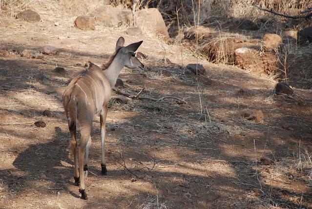 Chobe_Antilope-01