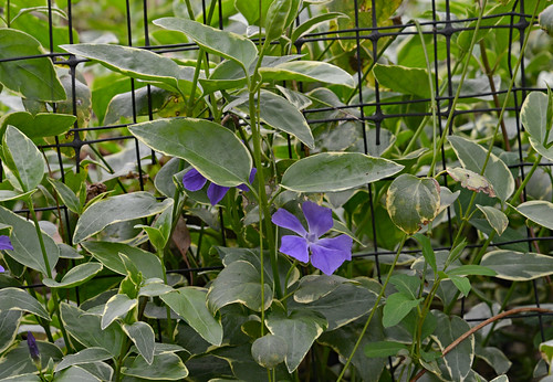 Periwinkle Along the Fence