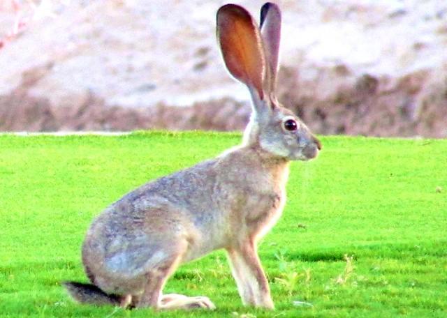 Golf course rabbit