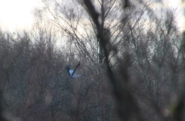 Kevad :) / Sookurg / Grus grus / Common crane / Eurasian crane