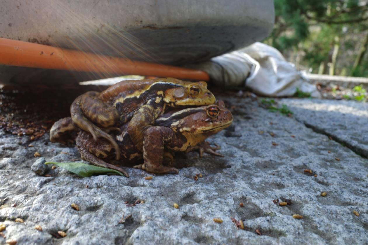大山寺にいたカエル