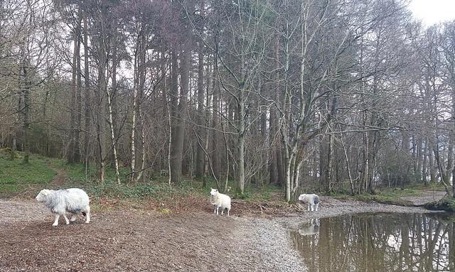 Three Herdwicks stroll by