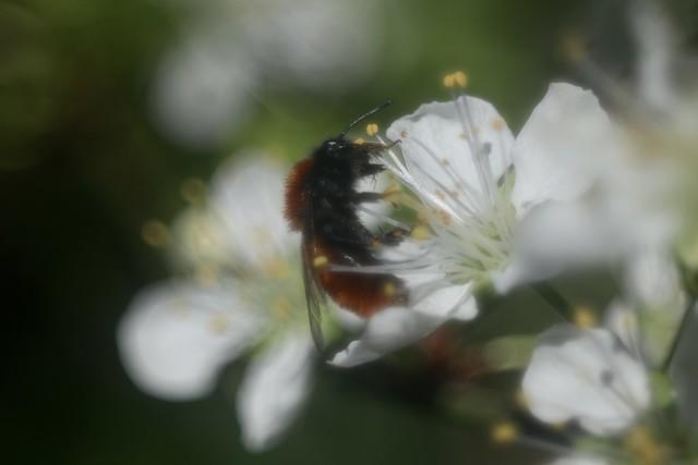 Tawny Mining Bee ?      Boyer Paris Saphir <<B>> 100mm F 4.5