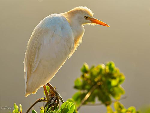 merrittisland bird birds cattleegret egret florida sunrise wildlife winter