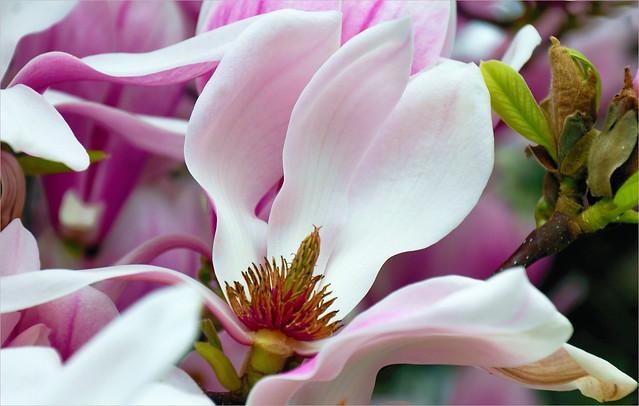 Purpur-Magnolie, Magnolia liliiflora
