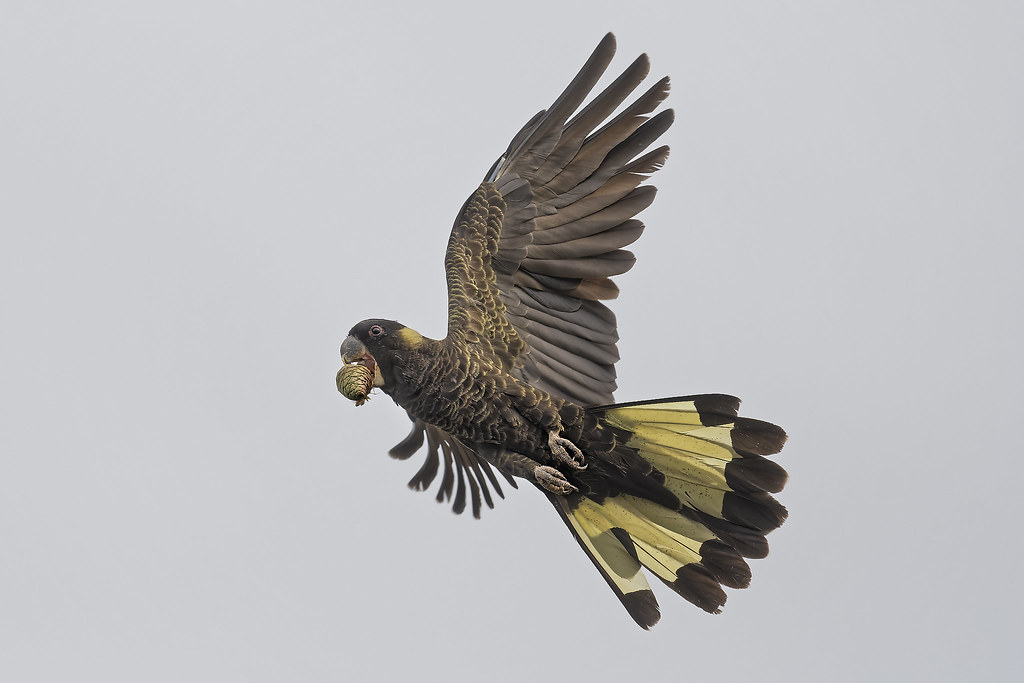 Yellow-tailed Black Cockatoo: Takeaway Food