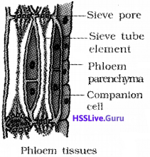 Plus One Botany Notes Chapter 4 Anatomy of Flowering Plants 6