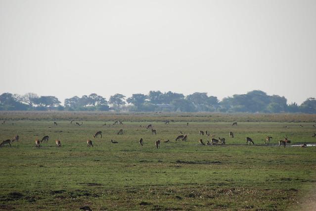 Chobe_Antilope-03-gruppo