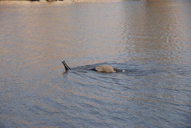 Chobe_elefante_snorkeling-04