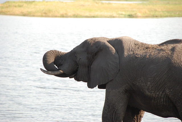 Chobe_elefante_snorkeling-01