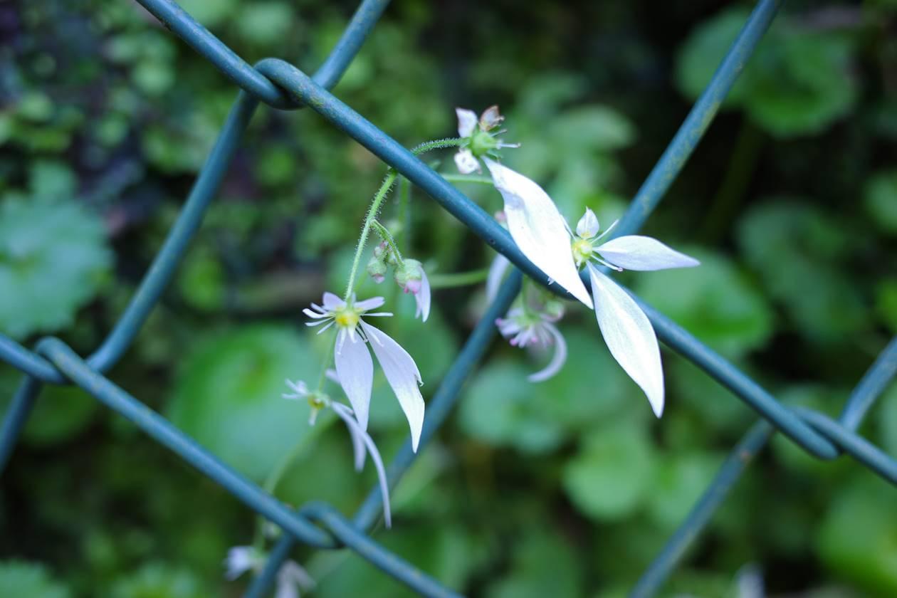 不動尻に咲いていた白い花