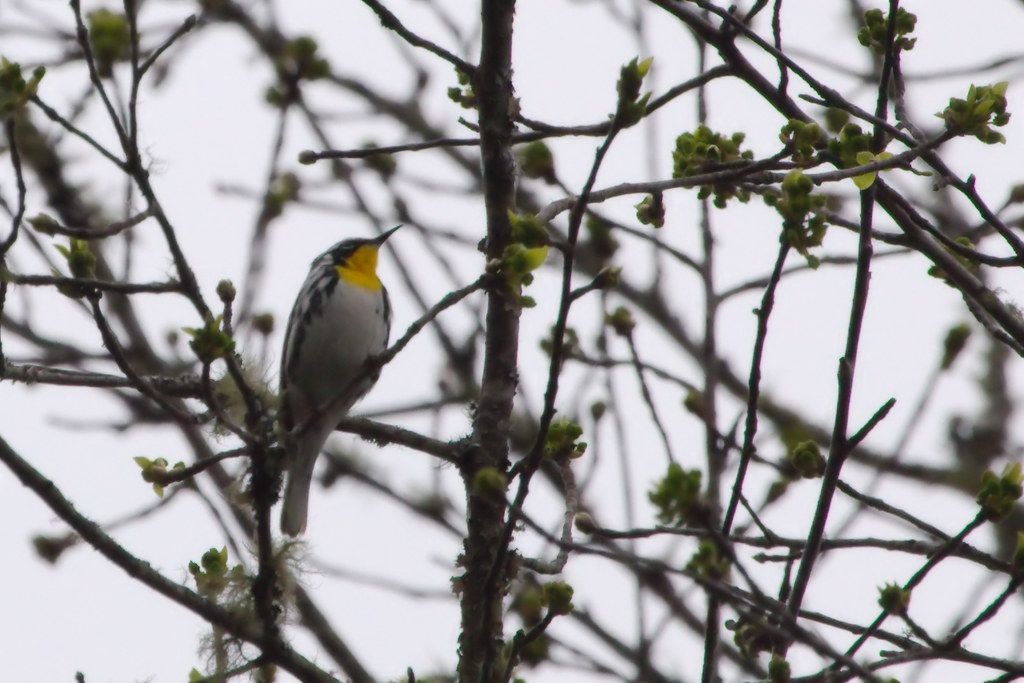 Yellow-throated warbler2