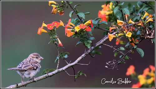 House Sparrow | by Cornelis Bakker