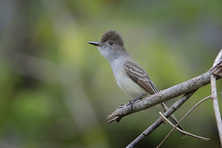 La Sagra's Flycatcher | by Greg Lavaty Photography