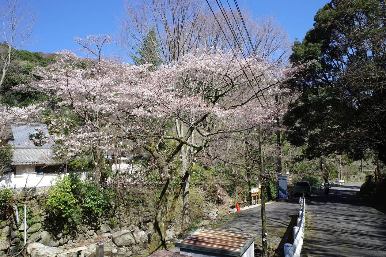 不動尻の林道に咲いていた桜