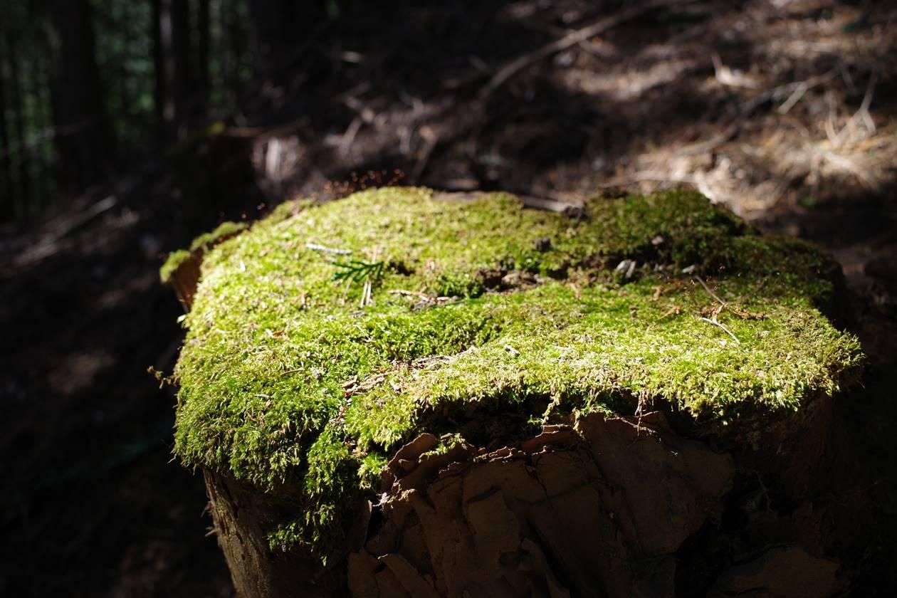 切り株と苔