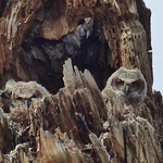 Great-horned Owlets