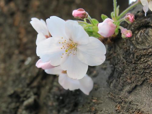 明治通りの桜 恵比寿 2020/3/20