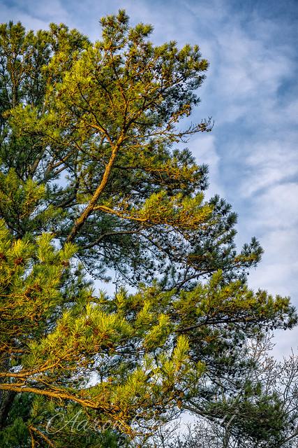 Pine, 2020.03.05