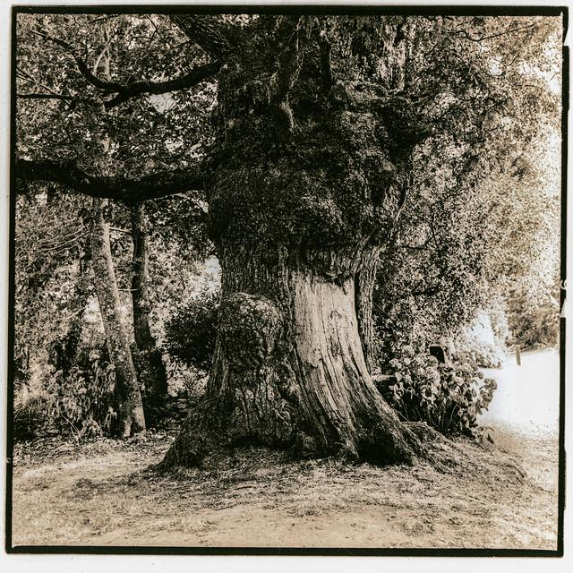 Le chêne de Trémalo - Pont-Aven