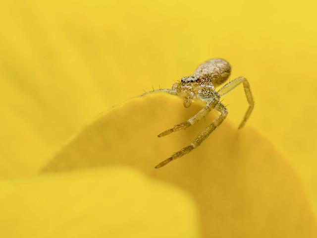 Crabspider posing on a viola