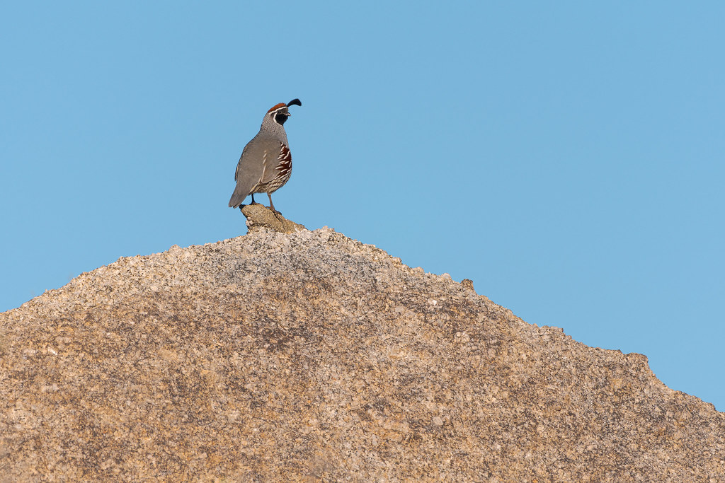 A male Gambels' quail looks out from atop a xenolith in a granite boulder on the Cholla Mountain Loop Trail in McDowell Sonoran Preserve in Scottsdale, Arizona in December 2019