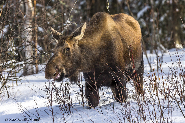 Hungry Moose Visit