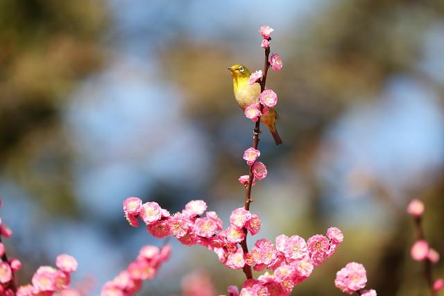 Red plum and bird