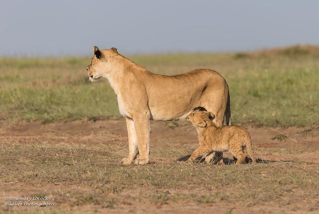 Lioness and Cub - Panthera leo