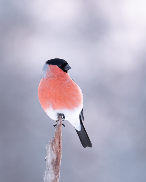 Bullfinch sitting pretty as a picture!