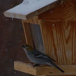 Pine Grosbeak-female