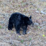 Black Bear in Evergreen