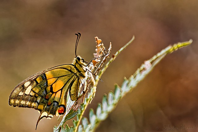 Papillon machaon - Machaon - Old World swallowtail