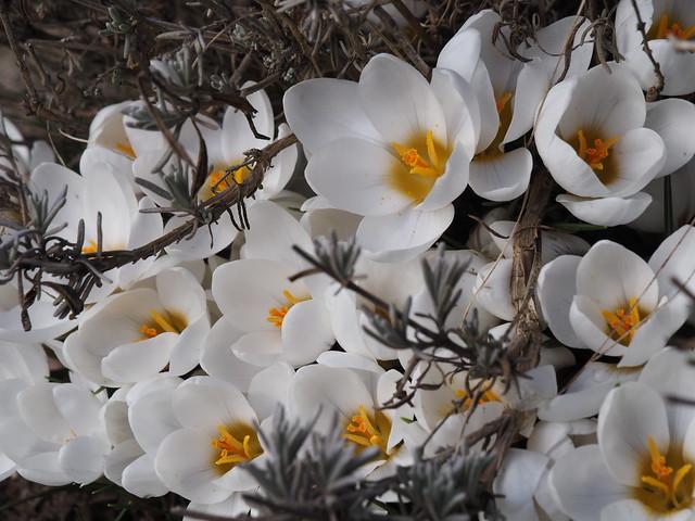 Crocus chrysanthus 'Ard Schenk'