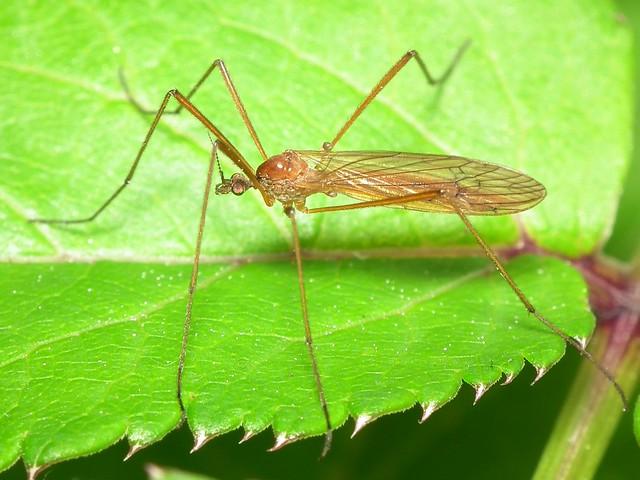 Phylidorea ferruginea (female)