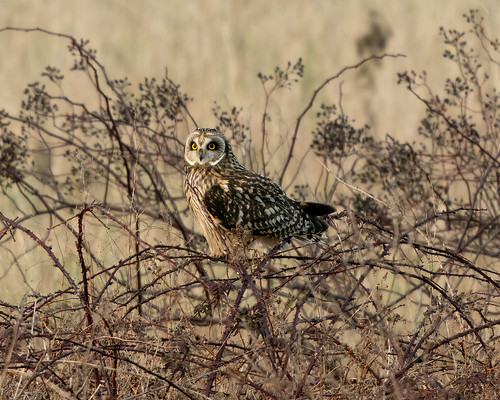 Short-Eared Owl at Golden Hour | by Ken Cheng Photography